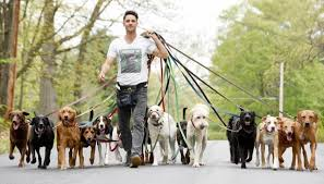 Saratoga dog walker has a big following | The Daily Gazette