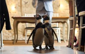 Video captures lavish wedding ceremony for inseparable gay penguins - The  Irish News