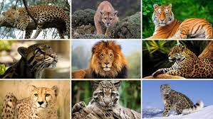 Protecting big cats is the call of next year's World Wildlife Day, 3 March  2018 | CITES