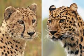 Cheetah vs Leopard - how to tell the two cats apart - The Wildlife Diaries