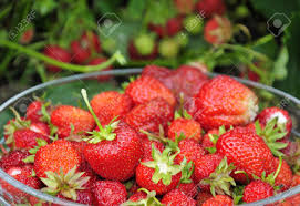 Juicy Strawberry Fruit In Swedish Garden Stock Photo, Picture And Royalty  Free Image. Image 16292965.